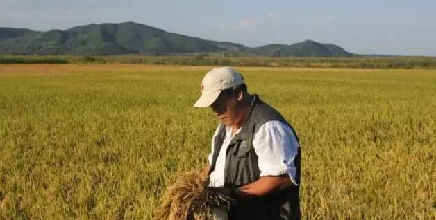 水稻穂上生芽的原因,预防措施及收割建议